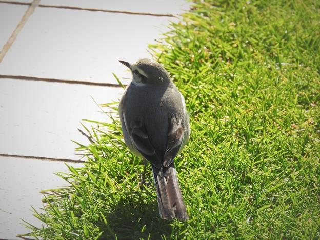 ハクセキレイ(雌)冬羽