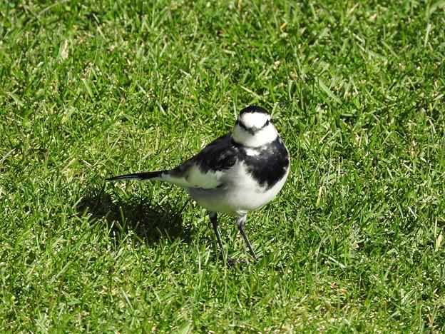 芝生のハクセキレイ