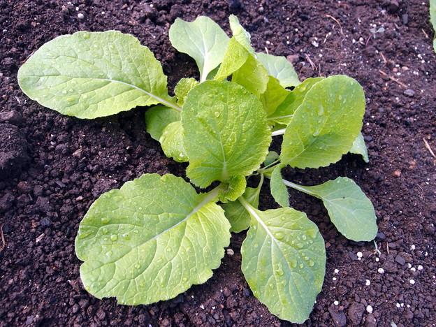 2017-09-08白菜の成長