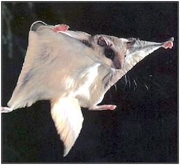 ardilla-voladora