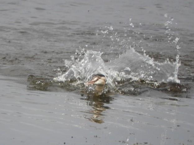カンムリカイツブリ 水浴び
