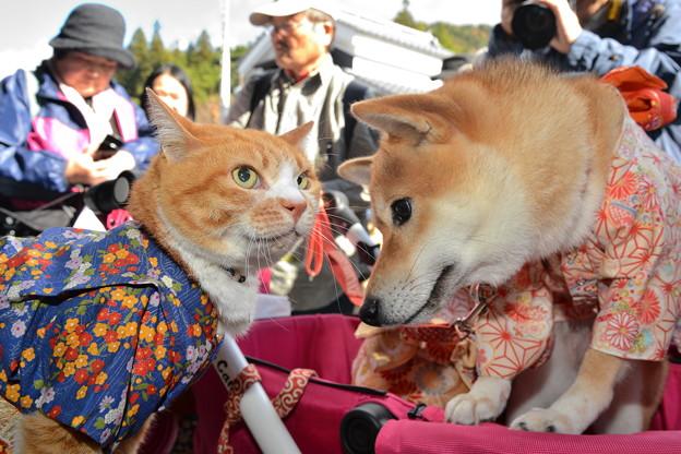 和服犬「紫苑」ちゃんと「なずな」ちゃん