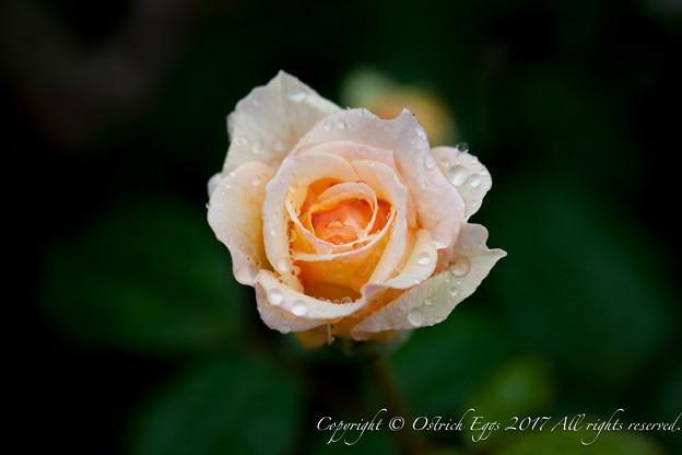 Photos: Rose-3485