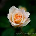 Rose-3485
