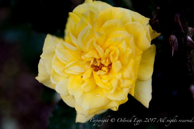 Photos: Rose-3490