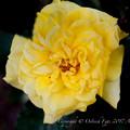 Rose-3490