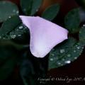 Rose-3498