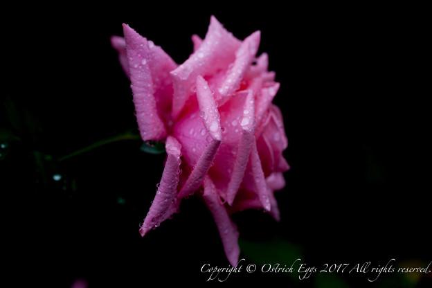 Photos: Rose-3502
