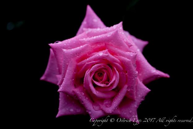 Photos: Rose-3503
