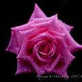 Rose-3503