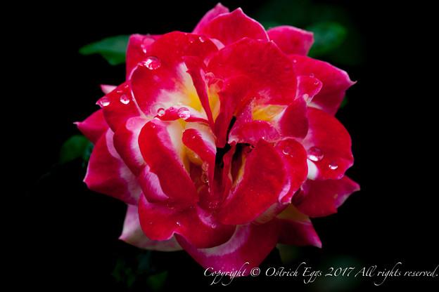 Photos: Rose-3504