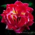 Rose-3504