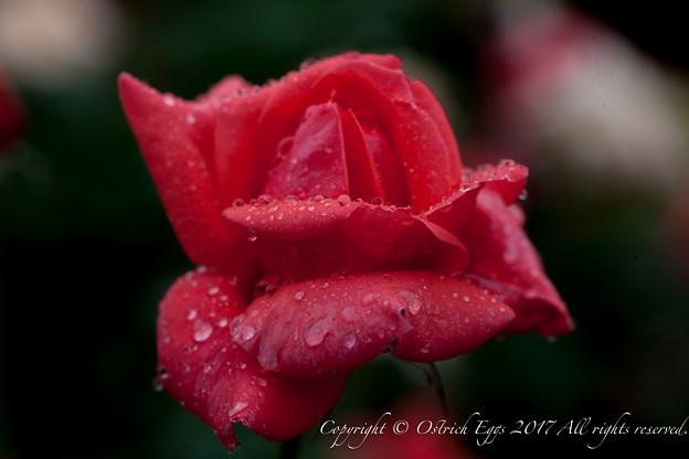 Photos: Rose-3518