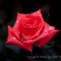 Photos: Rose-3523