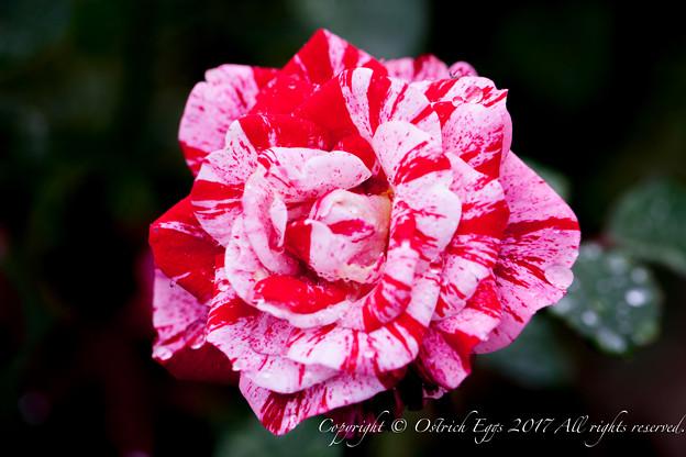 Photos: Rose-3527