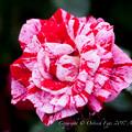 Rose-3527