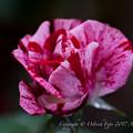 Rose-3530