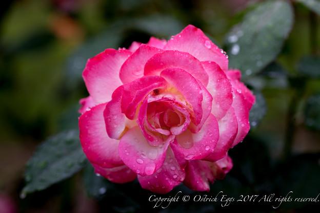 Photos: Rose-3535