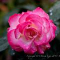 Rose-3535