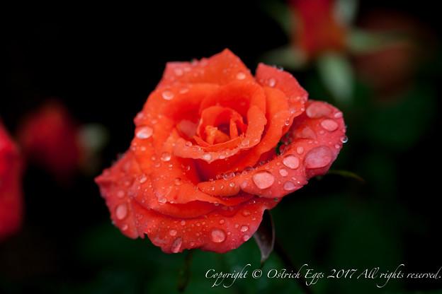 Photos: Rose-3538