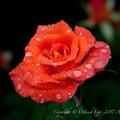 Rose-3538
