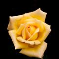 Photos: Rose-3559