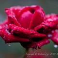 Photos: Rose-3562