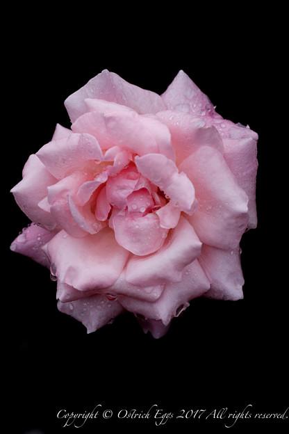 Photos: Rose-3570