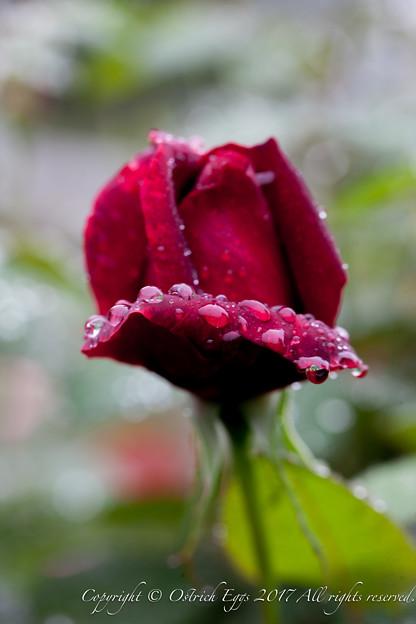 Photos: Rose-3581