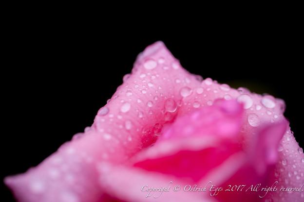Photos: Rose-3585