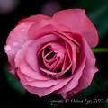 Photos: Rose-3604