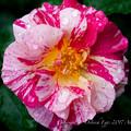 Photos: Rose-3621