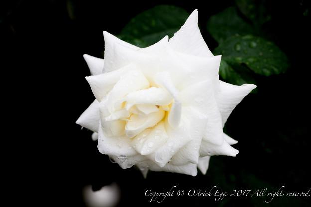Photos: Rose-3630