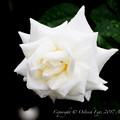 Rose-3630