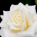 Photos: Rose-3632