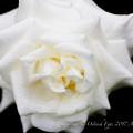 Photos: Rose-3633