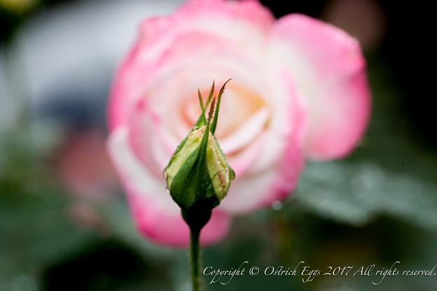Photos: Rose-3635