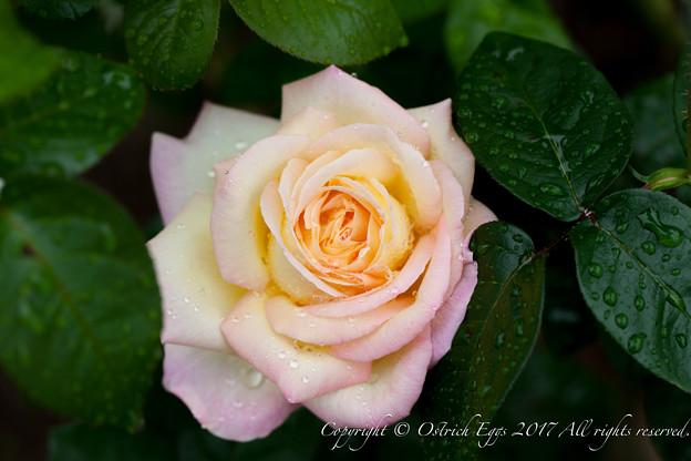 Photos: Rose-3641