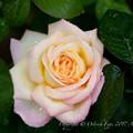 Rose-3641