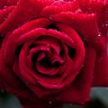 Rose-3646
