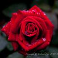 Rose-3647