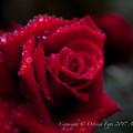 Rose-3648