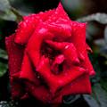 Rose-3650