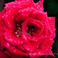 Rose-3654