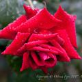 Rose-3655