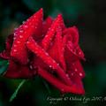 Rose-3662
