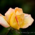 Photos: Rose-3674