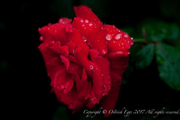 Photos: Rose-3676