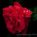 Rose-3676