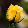Photos: Rose-3682